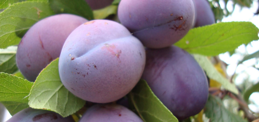 Have You Overlooked the Ripe Plums in Your Employee Base?
